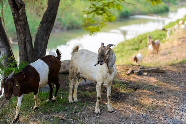Portrait de chèvre sur la route