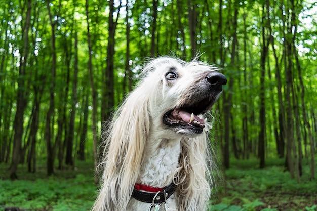 Portrait d'un chien afghan dans la forêt.