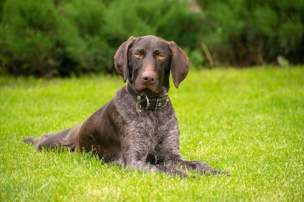 Portrait d'un chien allongé sur la pelouse