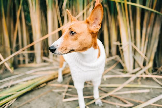 Portrait de chien basenji dans les roseaux au bord de la rivière.