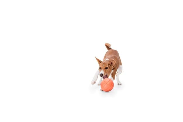 Portrait de chien basenji isolé sur blanc