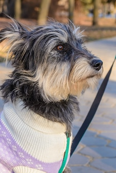 Portrait d'un chien bâtard hirsute dans des vêtements lors d'une promenade dans le parc par une journée ensoleillée