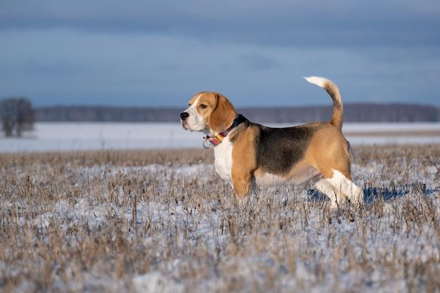 Portrait d'un chien beagle en promenade