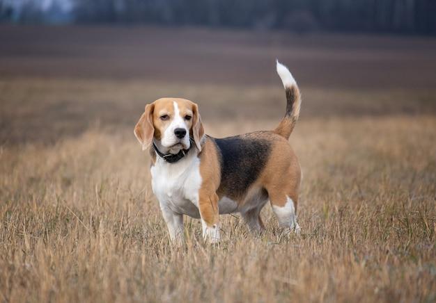 Portrait d'un chien beagle sur le terrain d'automne en marchant