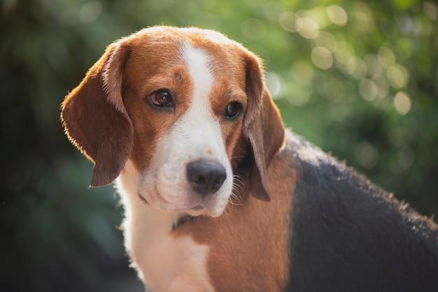 Portrait de chien beagle