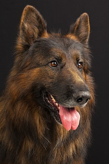 Portrait de chien de berger allemand sur fond noir
