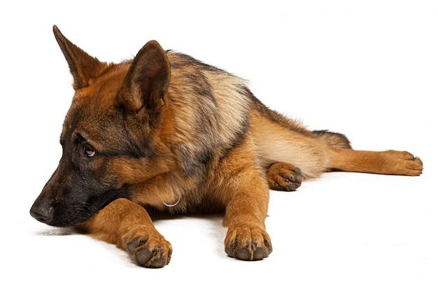 Portrait d'un chien de berger allemand isolé