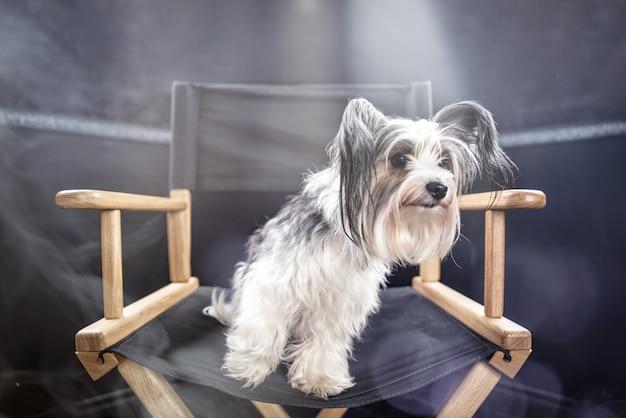 Portrait de chien biewer en studio