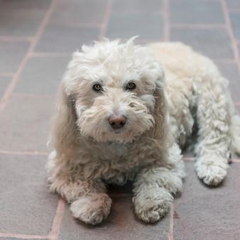Portrait d'un chien blanc, zona centro, san miguel de allende, guanajuato, mexique