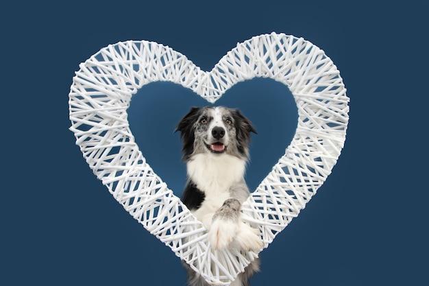 Portrait de chien border collie aime célébrer la saint-valentin à l'intérieur d'un cœur avec pattes suspendues