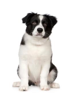 Portrait de chien border collie puppy isolé