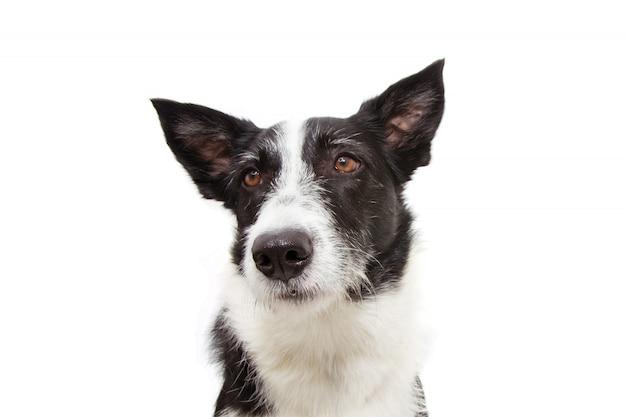 Portrait de chien border collie triste et sombre.