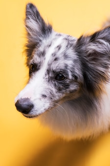 Portrait de chien border collie