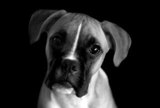 Portrait de chien de boxeur