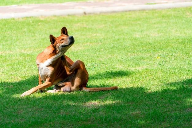 Portrait de chien brun sur le champ vert, pose de chien nature