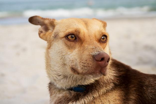 Portrait d'un chien brun sur la plage