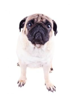 Portrait d'un chien carlin aux grands yeux tristes.
