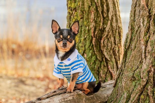 Portrait d'un chien chihuahua de petite race de couleur noire à l'extérieur dans des vêtements. chien de compagnie.