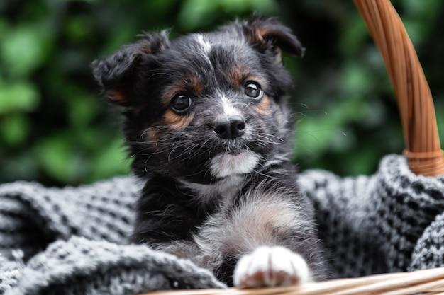 Portrait de chien chiot jette un coup d'œil sur le panier en plein air comme cadeau ou surprise sur un plaid gris.