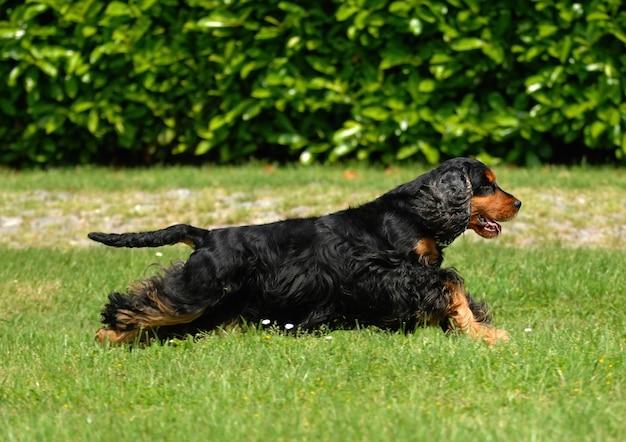 Portrait de chien cocker anglais