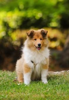 Portrait de chien collie
