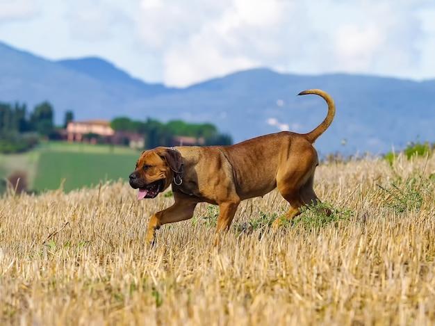 Portrait de chien corso, race italienne de chien