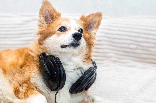 Portrait d'un chien dans les écouteurs se bouchent