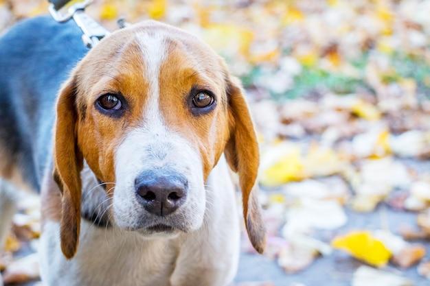 Portrait d'un chien élève un chien estonien
