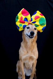 Portrait de chien avec un gros noeud papillon à pois colorés sur la tête, sur fond noir