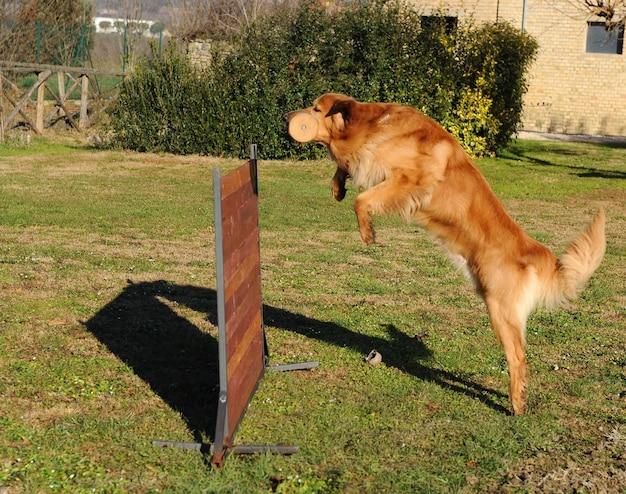 Portrait de chien hovawart
