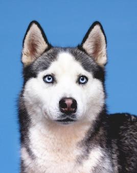 Le portrait de chien husky sur fond bleu