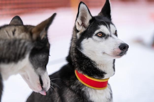 Portrait de chien husky, fond d'hiver enneigé. animal drôle sur la marche avant l'entraînement des chiens de traîneau.