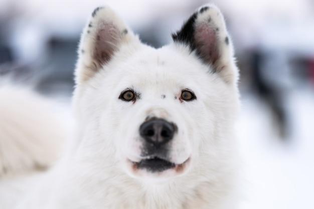 Portrait de chien husky, fond d'hiver enneigé. drôle animal de compagnie sur la marche avant l'entraînement des chiens de traîneau.