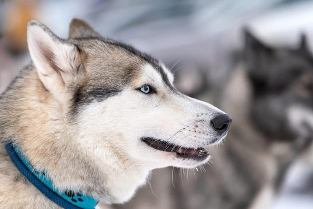Portrait de chien husky, fond d'hiver enneigé
