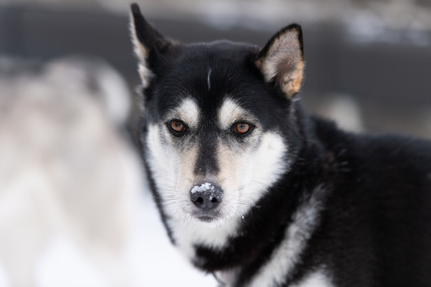 Portrait de chien husky, fond neigeux d'hiver. animal drôle sur la marche avant la formation de chiens de traîneau.