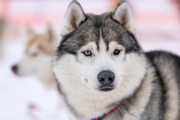 Portrait de chien husky, fond neigeux d'hiver. drôle animal sur la marche avant la formation de chien de traîneau.