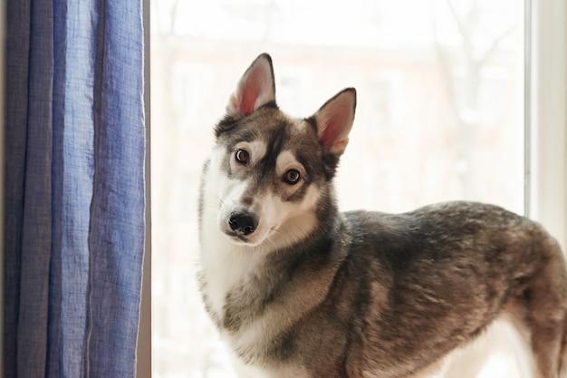 Portrait d'un chien husky avec un regard sérieux. belle couleur husky sibérien noir et blanc. modèle de carte postale et calendrier. chien à la maison.
