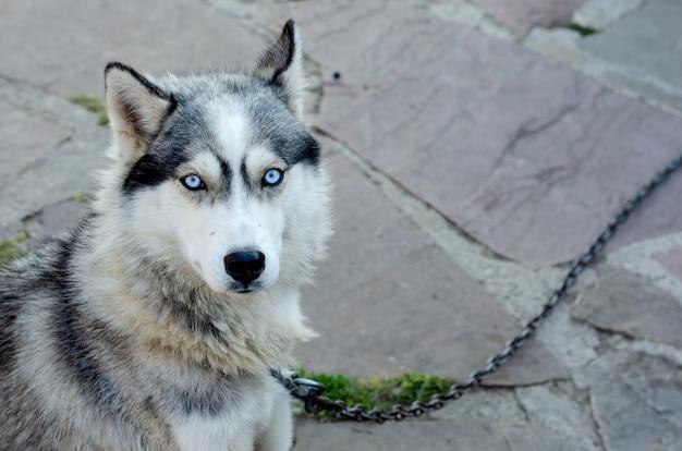 Portrait d'un chien husky regardant à huis clos sur une chaîne dans le village.