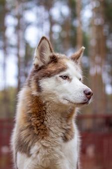 Portrait d'un chien husky sibérien aux yeux bleus dans la nature.
