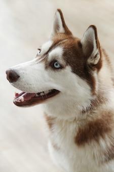 Portrait de chien husky