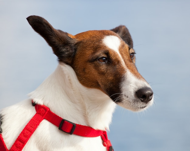 Portrait d'un chien jack russel