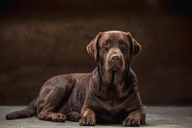 Portrait d'un chien labrador noir pris sur un fond sombre.