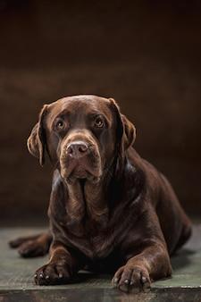 Le portrait d'un chien labrador noir pris sur un fond sombre.