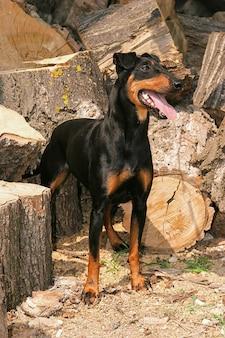 Portrait d'un chien de manchester terrier