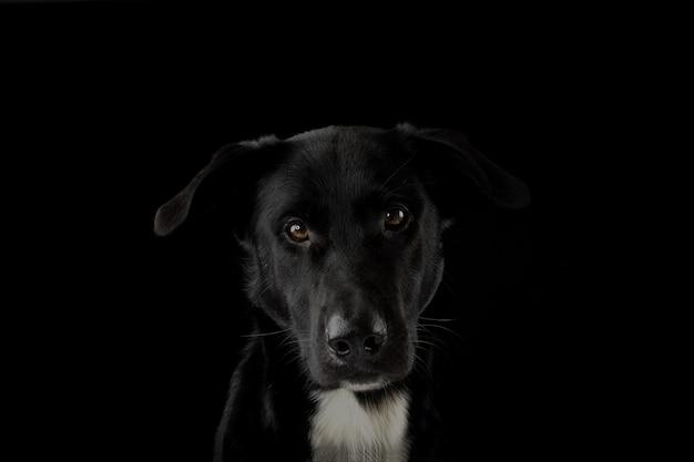 Portrait d'un chien noir regardant la caméra avec une expression grave et des yeux jaunes. isole contre le fond noir.