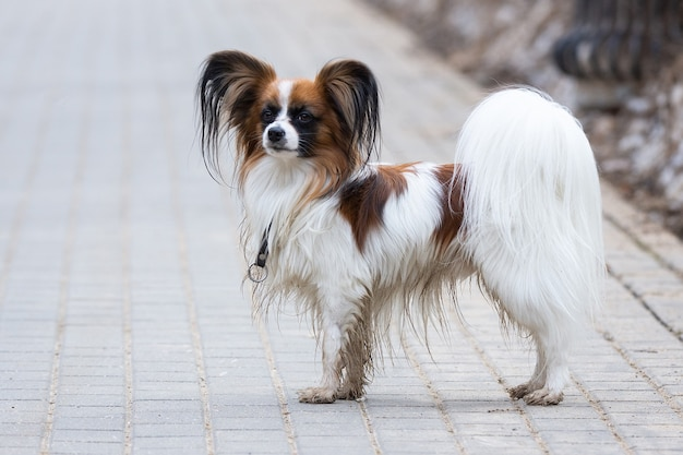 Portrait de chien papillon en plein air