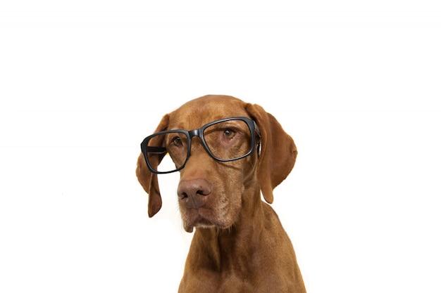Portrait chien pointeur intelligent portant des lunettes noires. retour au concept de l'école.