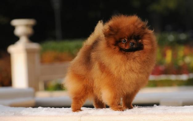 Portrait de chien pomeranian