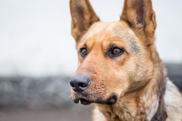 Portrait de chien pur-sang, regard concentré attentif