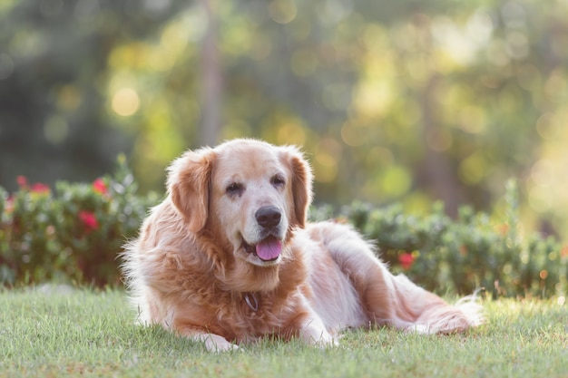 Portrait de chien retriver doré